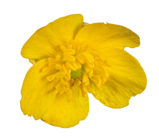 Buttercup Fragrance Oil