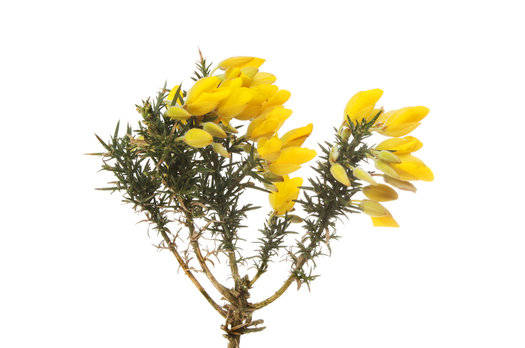 Gorse Flower Fragrance Oil
