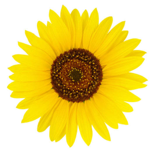 Organic, Refined Sunflower Oil-Cosmetic