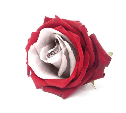 Tudor Rose Fragrance Oil | Fragrance Oils | Gracefruit