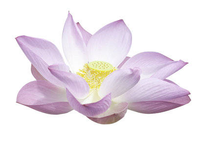 Indian Lotus Fragrance Oil