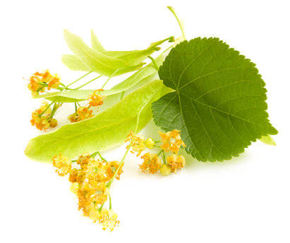 Linden Blossom Fragrance Oil