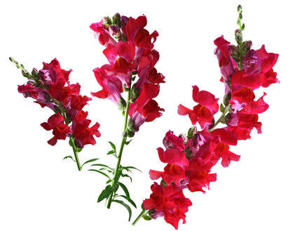 Snapdragon Fragrance Oil